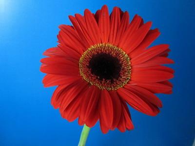 Fresh Cut Flowers-Gerbera Flower-01