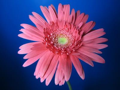 Fresh Cut Flowers-Gerbera Flower-04