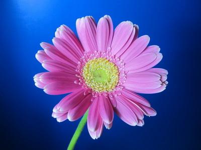 Fresh Cut Flowers-Gerbera Flower-08