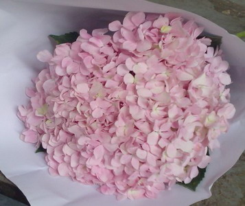 Fresh Cut Flowers Hydrangeas-07
