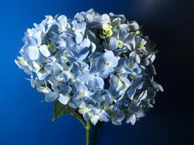 Fresh Cut Flowers Hydrangeas-03