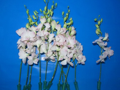 Fresh Cut Baby Orchids-02