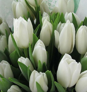 Fresh Cut Flower-Tulip-03