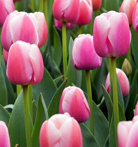 Fresh Cut Flower-Tulip-10
