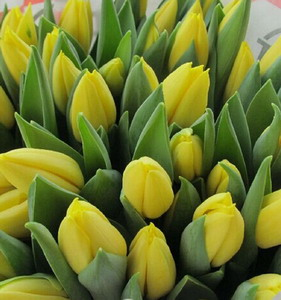 Fresh Cut Flower-Tulip-05
