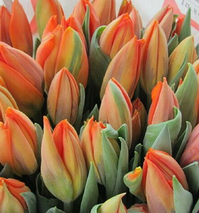Fresh Cut Flower-Tulip-04