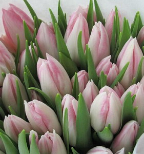 Fresh Cut Flower-Tulip-01