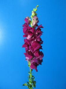 Snapdragon Flower-Antirrhinum Majus-01