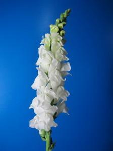 Snapdragon Flower-Antirrhinum Majus-04