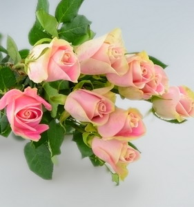 Fresh Cut Flower Rose -Malia