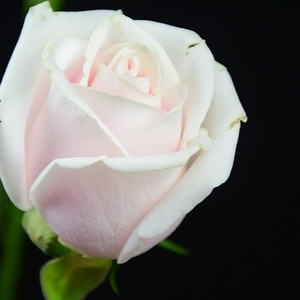Fresh Cut Flower Rose -Pink Avalanche