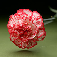 Fresh Cut Carnation Flowers-Charlie