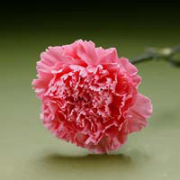 Fresh Cut Carnation Flowers-Paola