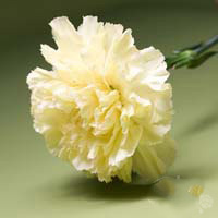 Fresh Cut Carnation Flowers-Hermes