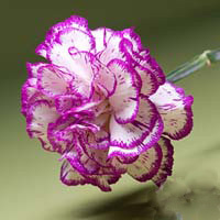 Fresh Cut Carnation Flowers-Tico