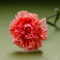 Fresh Cut Carnation Flowers-Santa Fe