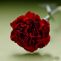Fresh Cut Carnation Flowers-Crimson Temposm
