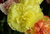 Fresh Cut Carnation Flowers-Liberty