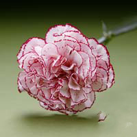 Fresh Cut Carnation Flowers-Tempo
