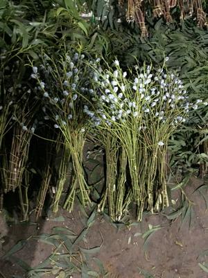 Greenery and Foliage-Eucalyptus 002
