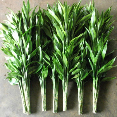 Greenery and Foliage-Lucky Bamboo