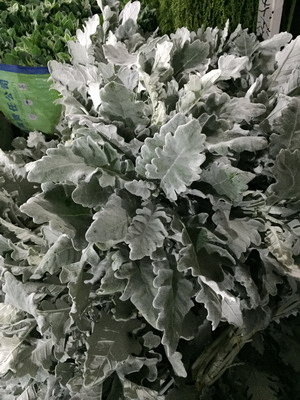 Greenery and Foliage-Dusty Miller