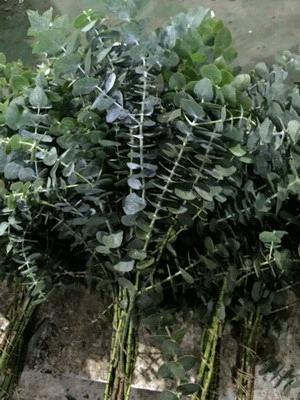 Greenery and Foliage-Eucalyptus 001