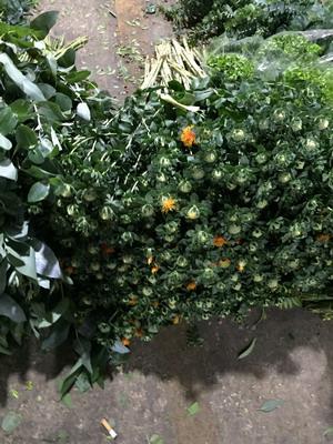 Greenery and Foliage-Orange pineapple