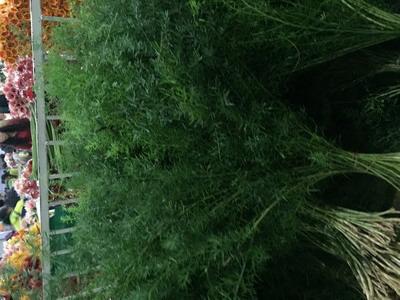 Greenery and Foliage-Lucid asparagus