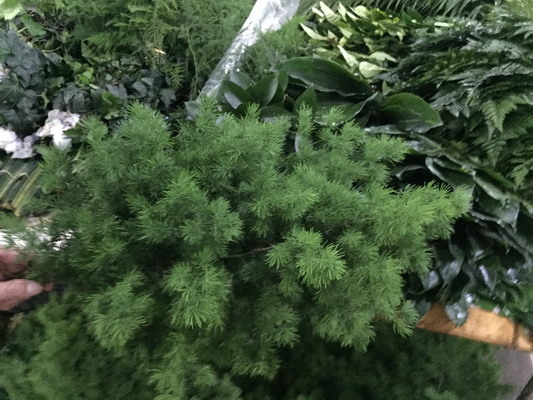 Greenery and Foliage-Asparagus Myrioeladus