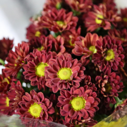 Daisy Chrysanthemum-01