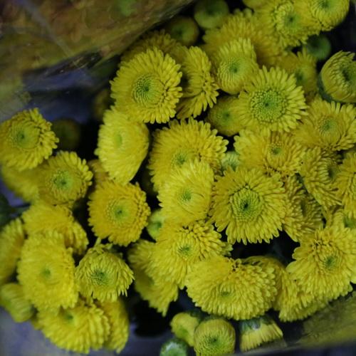 Daisy Chrysanthemum-02