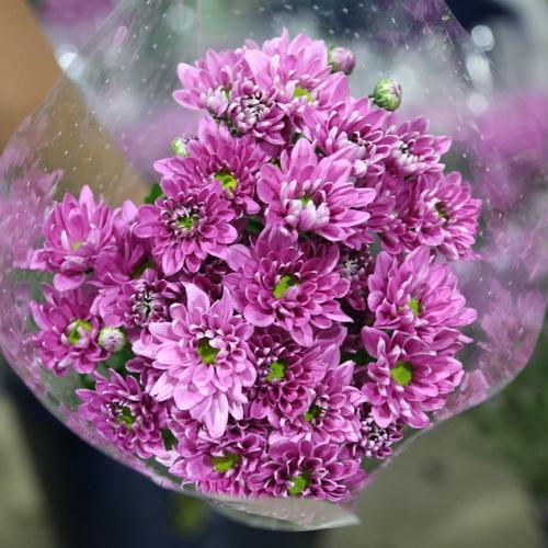Daisy Chrysanthemum-12