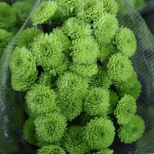 Daisy Chrysanthemum-06