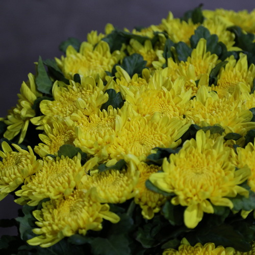 Sing Head Chrysanthemum-02