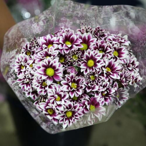 Daisy Chrysanthemum-13