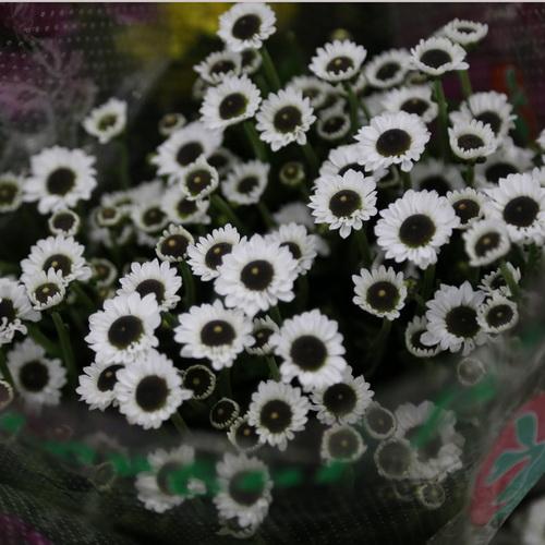 Daisy Chrysanthemum-09