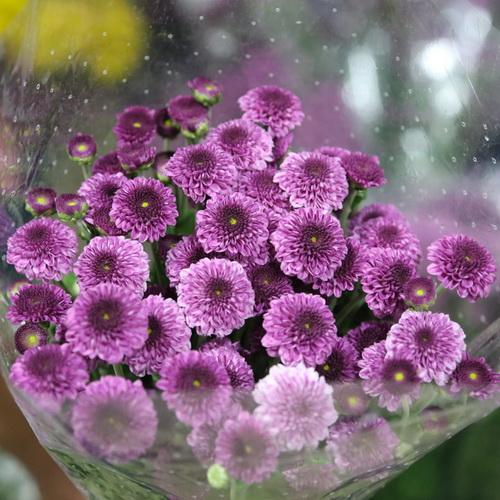Daisy Chrysanthemum-16